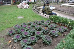 Purple cabbage flowers at Bowling Green Park Manhattan New York.jpg