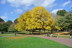 Yellow fall foliage at Boston Common.jpg